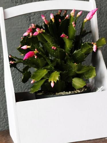 ¿Por qué se le caen las hojas a mi cactus de Navidad? (Resuelto)