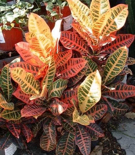 Por qué se le caen las hojas a mi planta de croton (y cómo solucionarlo)