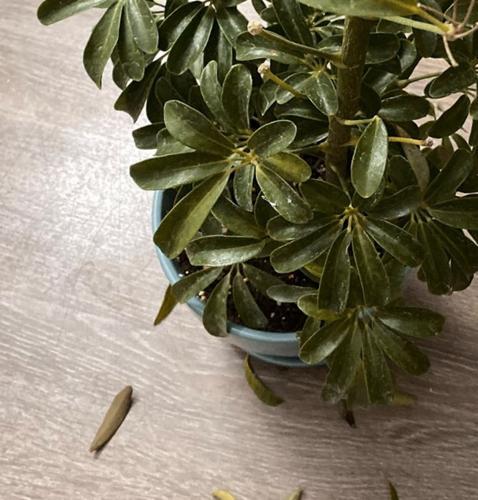 ¿Por qué se le caen las hojas a mi Schefflera?
