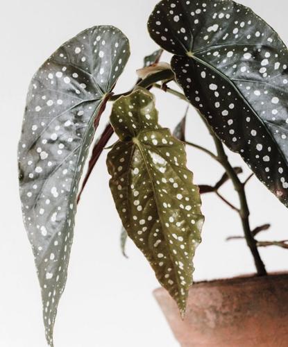 ¿Por qué se marchita mi begonia? (8 soluciones fáciles)