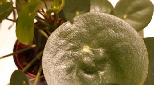 ¿Por qué se rizan las hojas de mi planta china del dinero?
