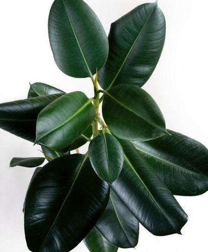 ¿Por qué se rizan las hojas de mi planta de caucho? (y cómo solucionarlo)