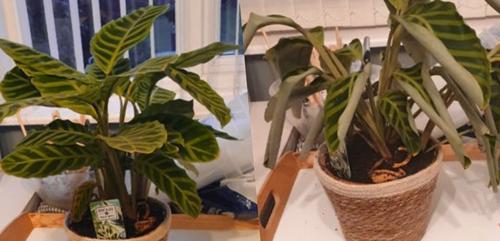 ¿Por qué se rizan mis hojas de Calathea? (Causas y soluciones)