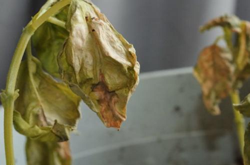 ¿Por qué se vuelven marrones mis hojas de albahaca?