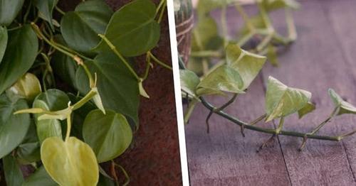Pothos o Filodendro: ¿Cuál es la diferencia?