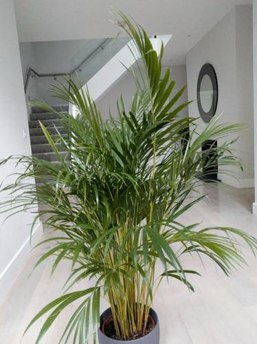 Propagación de la palmera areca - Guía paso a paso