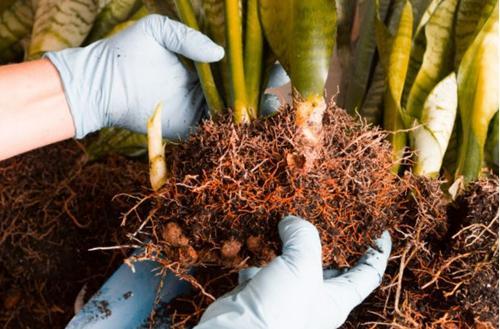 Propagación de la planta de la serpiente: 4 formas de cultivar esquejes de plantas de serpiente