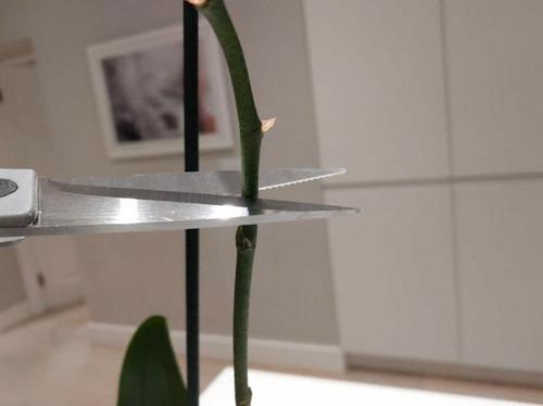 ¿Recortas los tallos de las orquídeas?