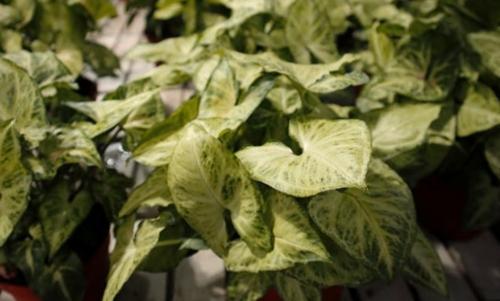 Reproducción de la planta Arrowhead (Syngonium podophyllum)