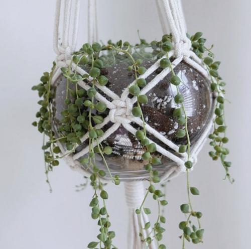 ¿Se está muriendo la planta del collar de perlas? (Causas y soluciones)