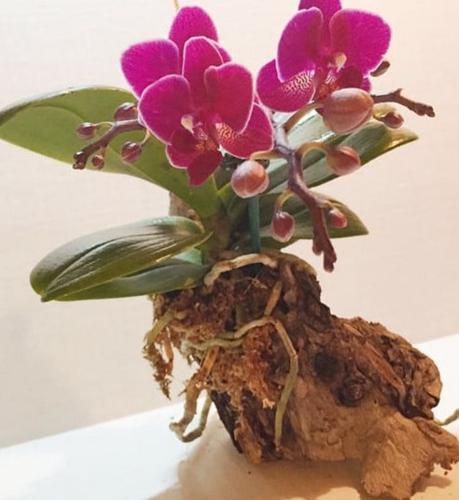 ¿Se pueden recortar las raíces aéreas de las orquídeas?