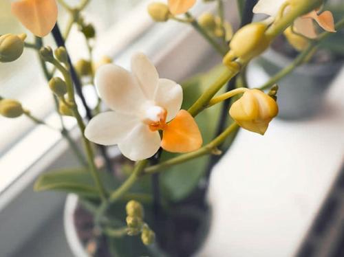 ¿Son las orquídeas un buen regalo?